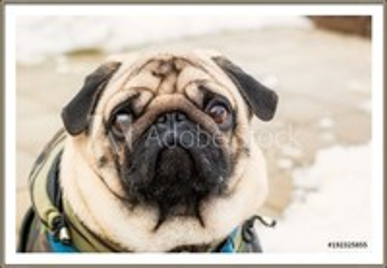 Gerahmte Poster Dog breed pug. Portrait of a pet